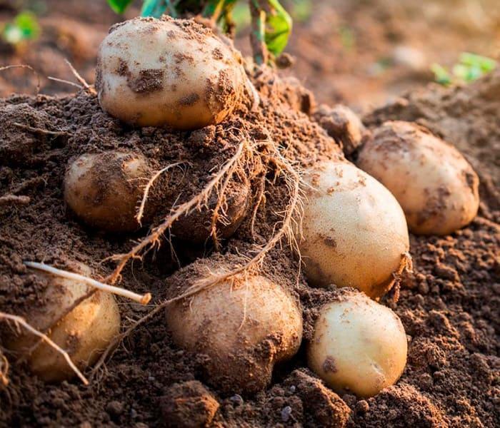 Морози пошкодили картоплю!  Що робити? 1