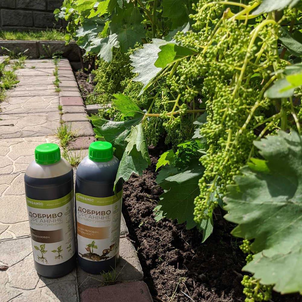 Інструкція по посадці і догляду за виноградом з врахуванням кліматичних особливостей Західної України 1