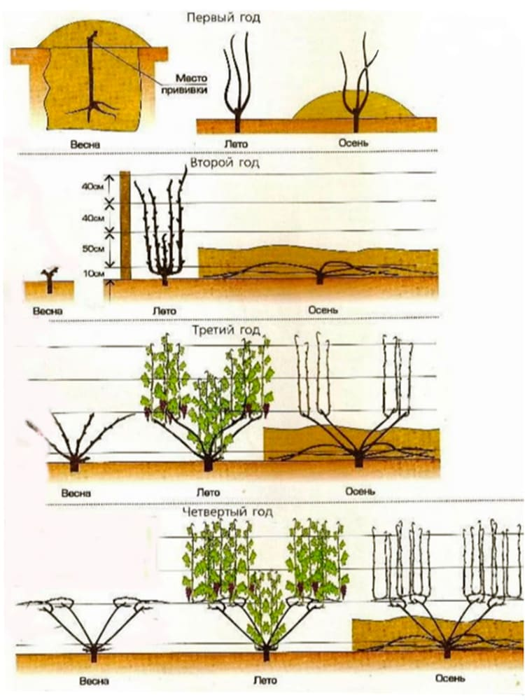 Інструкція по посадці і догляду за виноградом з врахуванням кліматичних особливостей Західної України 6