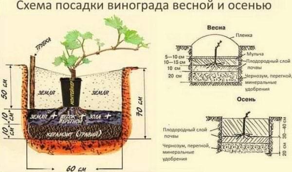 Інструкція по посадці і догляду за виноградом з врахуванням кліматичних особливостей Західної України 5