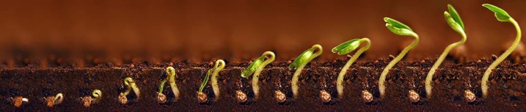 Ростки в покращеному родючому ґрунті