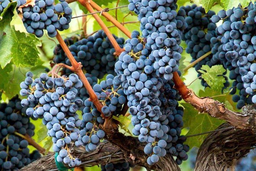 Синій виноград на лозі