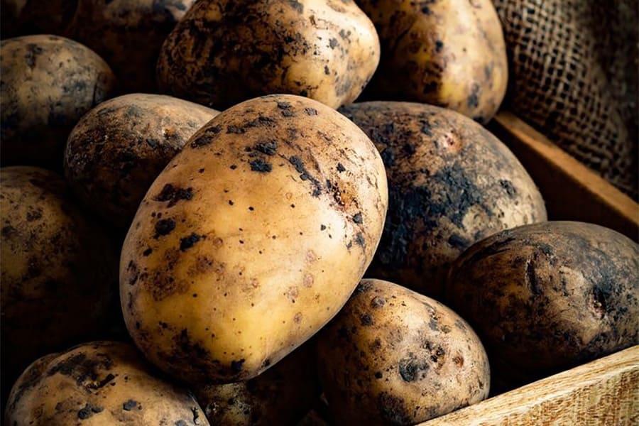 Применение органического удобрения в процессе выращивания картофеля
