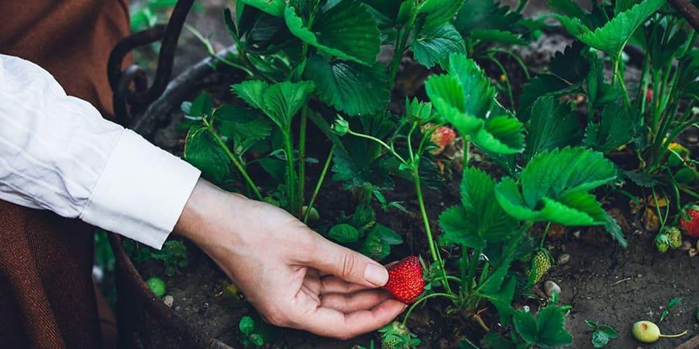 Родила красная клубника в руке