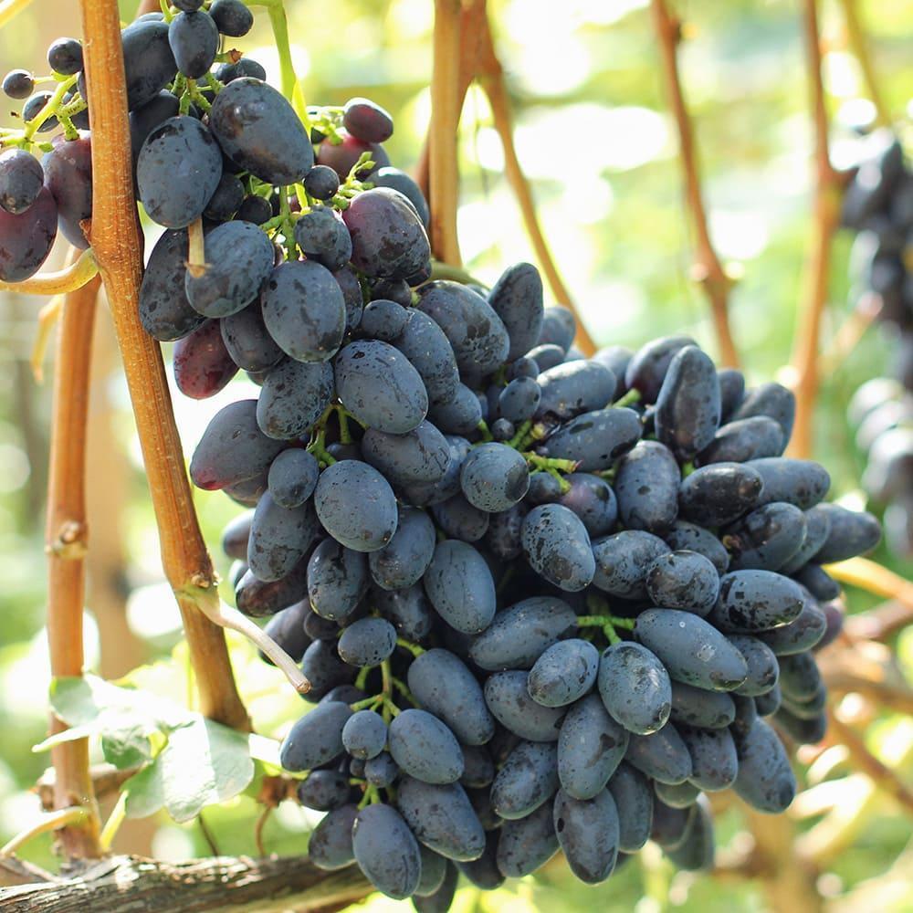Велика грона винограду на лозі