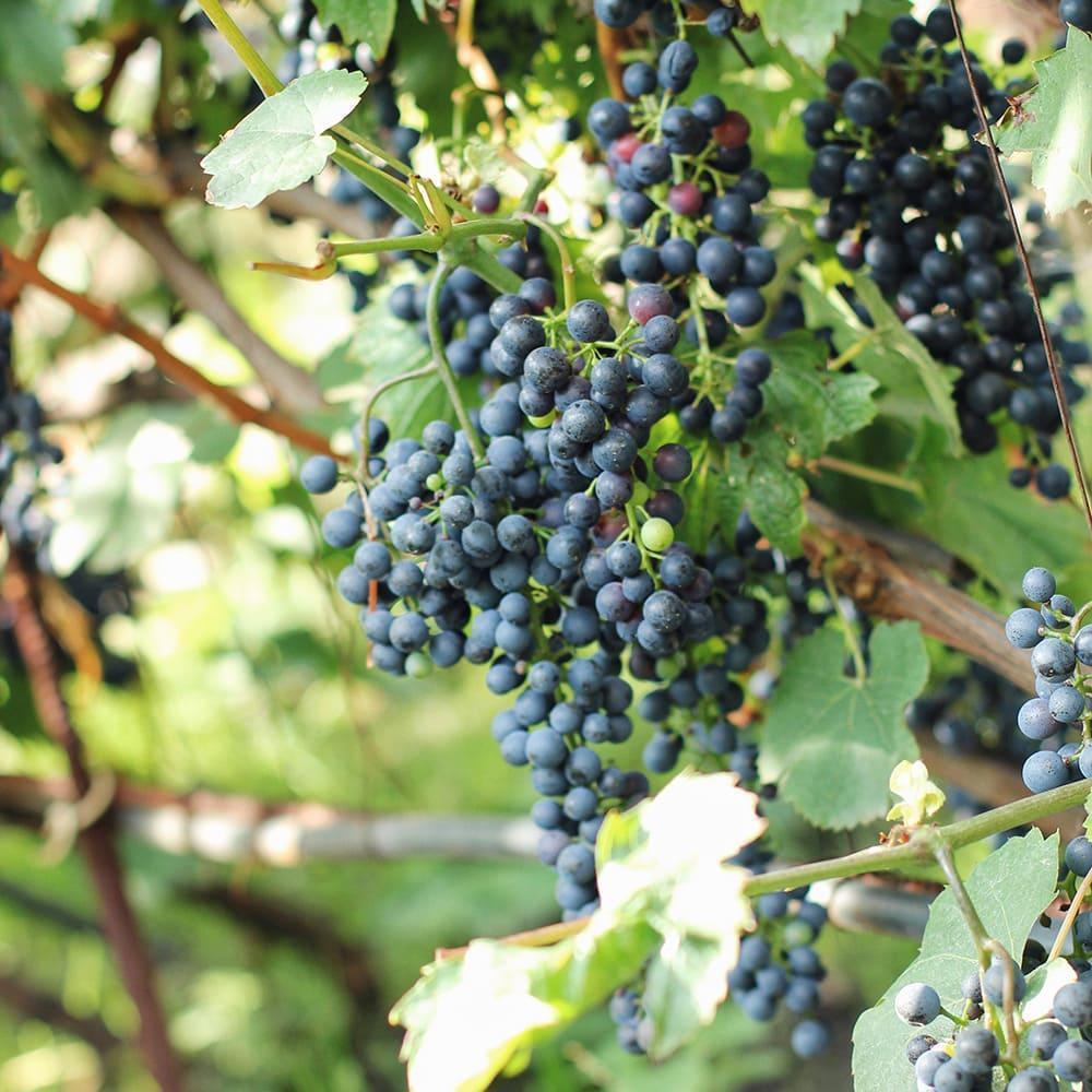 Грони винограду на лозі