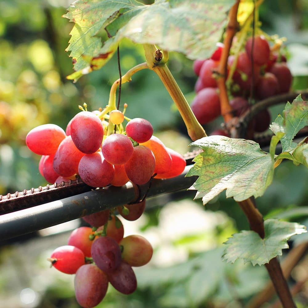 Грона червоного винограду на лозі