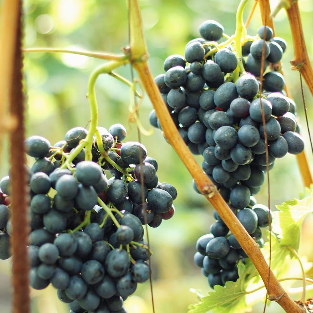 Грони синього винограду на лозі