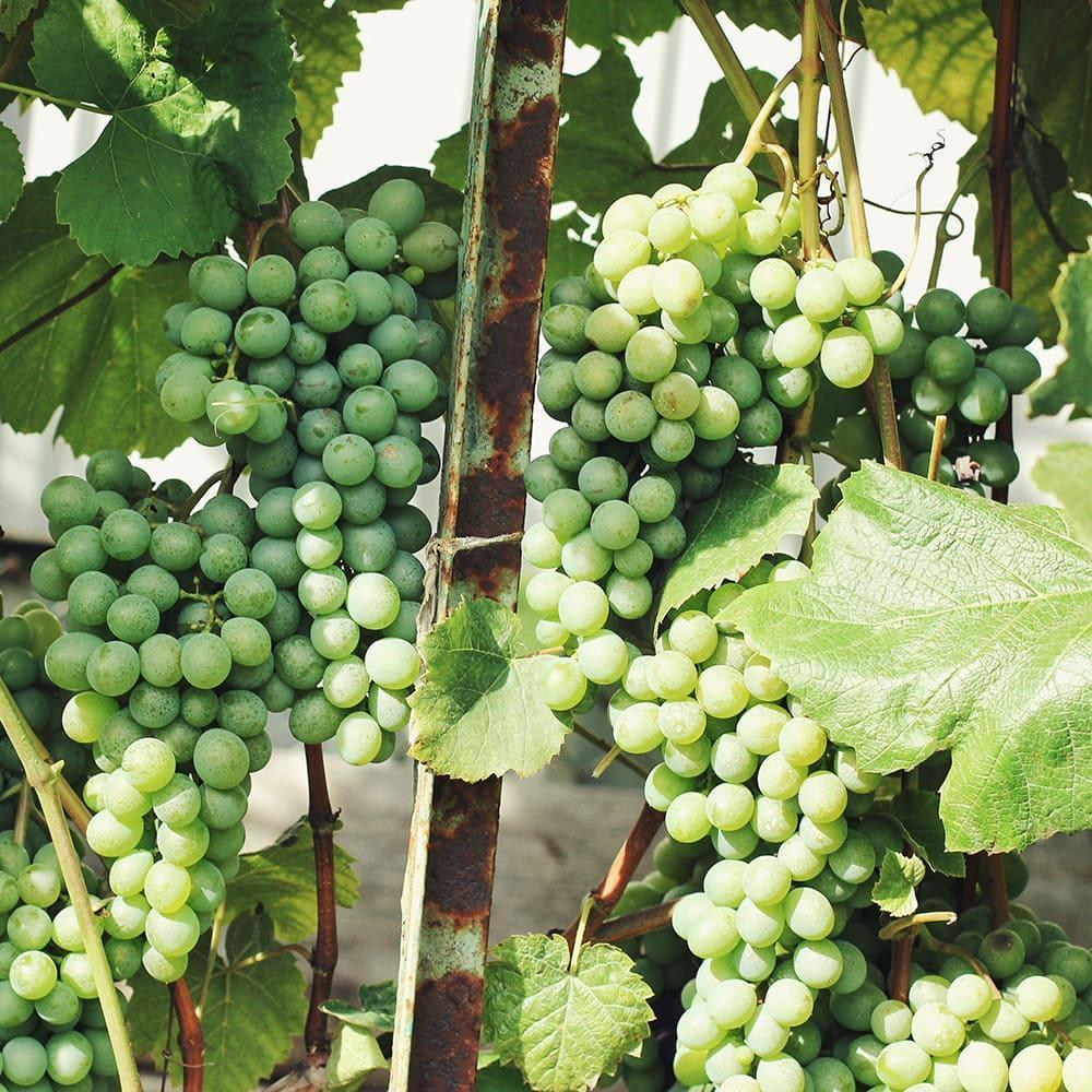 Грони винограду 8