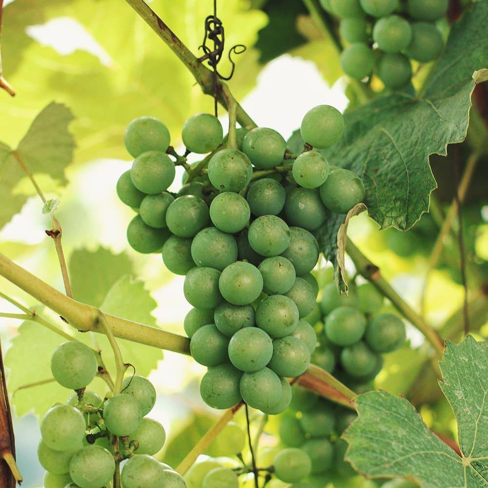 Грона винограду на лозі